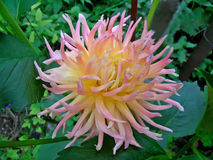 Dahlia Flower Royaltyfri Fotografi