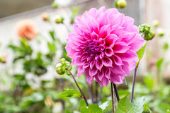 Dahlia Flower Stockbild