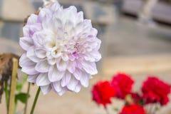 Dahlia Flower Stockfotos