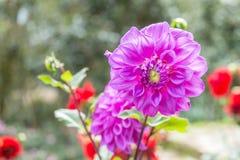 Dahlia Flower Stockbilder