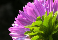 Dahlia flower Stock Images