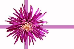 Dahlia flower. And ribbon gift wrap Royalty Free Stock Photos