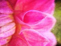 Dahlia Flower Royaltyfri Bild