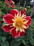 Dahlia Flower Imagem de Stock