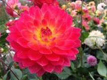 Dahlia Flower Imagenes de archivo