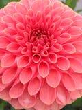 Dahlia Flower Fotos de Stock Royalty Free