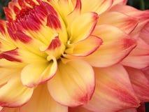 Dahlia Flower Fotografia de Stock Royalty Free