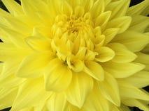 Dahlia Flower Fotos de Stock