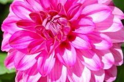Dahlia Flower Imágenes de archivo libres de regalías