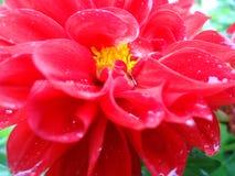 Dahlia Flower Fotografie Stock Libere da Diritti