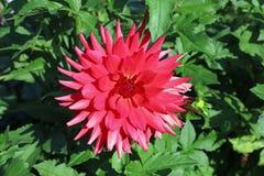 Dahlia Flower Fotografía de archivo libre de regalías