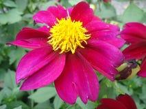 Dahlia Flower Fotografia Stock