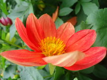 Dahlia Flower Immagine Stock Libera da Diritti