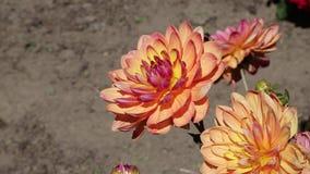 Dahlia Flower almacen de metraje de vídeo