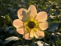 Dahlia Flower Royalty-vrije Stock Foto's