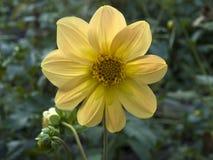 Dahlia Flower Imagem de Stock Royalty Free