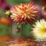 Dahlia flower above the water stock images