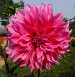 Flower Dahlia Royalty Free Stock Images