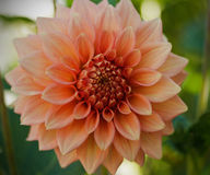 Dahlia Flower Apricot-kleur royalty-vrije stock foto's