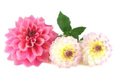 Dahlia flower arrangement Stock Photos