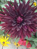 Dahlia Flower. The Beautiful Dahlia Flower from the Flowers Island, Mainau stock photos