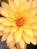 Dahlia Flower. The Beautiful Dahlia Flower from the Flowers Island, Mainau stock images