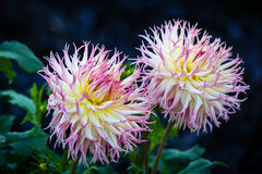 Dahlia flower. Beautiful  dahlia flower in the garden Stock Photo