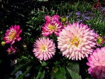 Dahlia Flower. Beautiful Dahlia Flower of the Garden in Mainau royalty free stock photo
