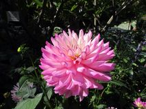 Dahlia Flower. Beautiful Dahlia Flower of the Garden in Mainau Stock Photography