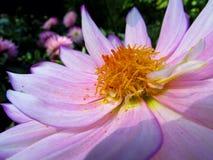 Dahlia Flower. Beautiful Dahlia Flower of the Garden in Mainau stock images