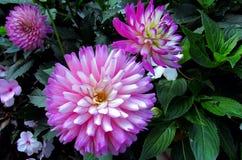 Dahlia Flower Stock Photography