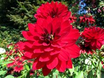 Dahlia Flower. Beautiful Dahlia Flower of the Garden in Mainau stock photography