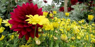 Dahlia Flower. Beautiful Dahlia Flower of the Garden in Mainau stock image