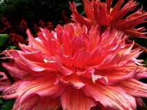 Dahlia Flower. Beautiful Dahlia Flower of the Garden in Mainau royalty free stock photos