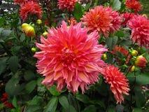 Dahlia Flower Stock Image