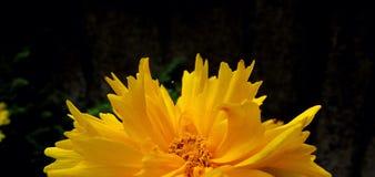 Dahlia Flower. Beautiful Dahlia Flower of the Garden in Mainau royalty free stock photography
