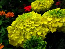 Dahlia Flower. Beautiful Dahlia Flower of the Garden in Mainau stock photos