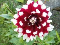 Dahlia Flower Royalty Free Stock Photo