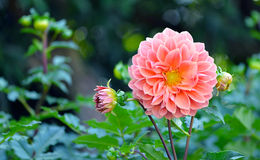 Dahlia flower  on blackground Stock Photo