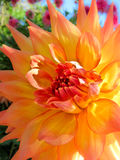 Dahlia Flower in Bloom. A Dahlia flower in full bloom at the Christchurch Botanical Gardens Royalty Free Stock Photography