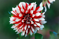 Dahlia flower. Stock Photos