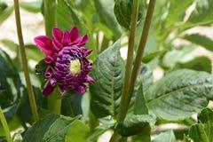 Dahlia, Flower, Blossom, Bloom Stock Photography