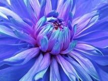 Dahlia  flower blue.  Closeup.  beautiful dahlia side view  for design. Macro. Stock Photos