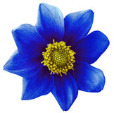 Dahlia flower  blue, white isolated background with clipping path.   Closeup.  no shadows.  For design. eight petals. Nature Stock Photo