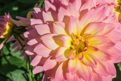 Dahlia flower. Stock Photo