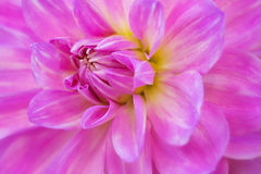 Dahlia Flower close-up. Dahlia flower detailed close-up shot Royalty Free Stock Photo
