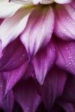 Dahlia flower close-up Stock Image