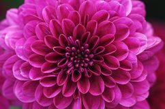 Dahlia flower close up Stock Photo