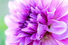Dahlia flower close-up Stock Images