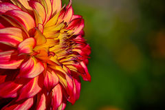 Dahlia flower Royalty Free Stock Images